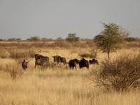0075 Pirschfahrt in der Kalahari - Gnuherde