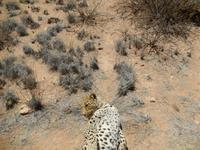 0388 Catwalk - Leopard
