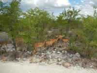 1007 Etosha-Nationalpark - Schwarznasenimpalas