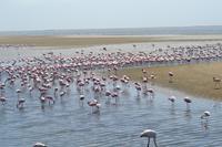 Flamingos Walvis Bay (5)