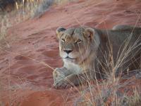 im Intu Afrika Kalahari Reservat - Löwin