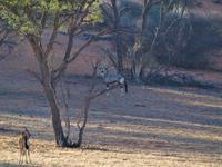 im Intu Afrika Kalahari Reservat - Oryx