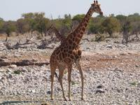 im Etosha Nationalpark - Giraffe