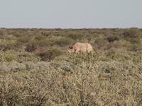 im Etosha Nationalpark - Nashorn