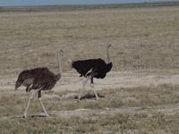 im Etosha Nationalpark - Strauß