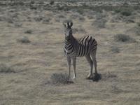 im Etosha Nationalpark - Zebra
