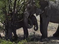 im Etosha Nationalpark - Elephant