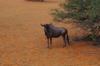 Kalahari - Gnu