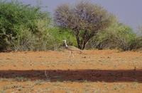 Rundfahrt in der Kalahari - Riesentrappe