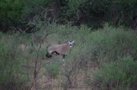 Nature Drive am Nachmittag - Oryxe