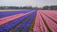 046 Hollands Hyazintenfelder, am Keukenhof