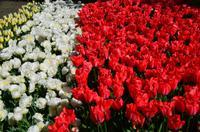086 Tulpenpracht im Keukenhof