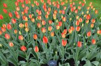 106 Tulpenpracht im Keukenhof