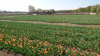 Tulpenplantage am Keukenhof