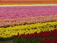 Tulpenfelder am Keukenhof