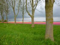 Tulpenfelder Flevoland