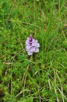 Orchideenwiese in Å i Lofoten