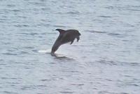Schweinswale im Porsangerfjord