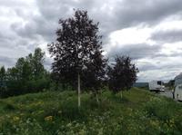 rotlaubige Birken