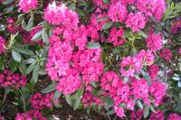 Bergen - Rhododendron soweit das Auge reicht ...