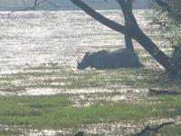 Naßhorn im Chitwan-NP