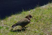 Der diebische Kea