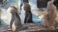 0350 Otago-Halbinsel Pinguin-Farm- Gelbaugen-Pinguine