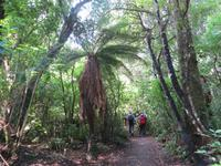 1058 Ohakune - Wanderung auf dem Forest walk durch den herrlichen Wald