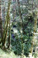 Kepler Track, Südbuchen-Wald