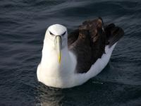Albatross Otago Halbinsel