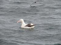 Dunedin - Fahrt mit der Monarch - Albatross