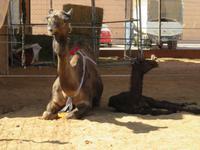 Dubai - Oman - Fahrt nach Al Ain -Besuch Kamelmarkt