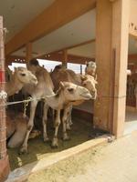 Kamelmarkt Al Ain