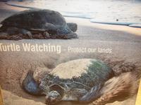 Schildkröten-Beobachtung in Ras al Jinz