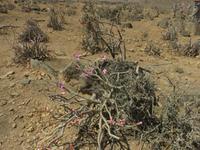 Ausflug in den Osten Dhofars - Wüstenrose