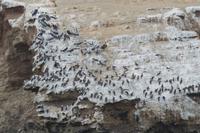 Tierwelt auf den Ballestas Inseln (12)