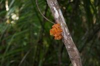 """Ein Pilz der dem menschlichen Ohr ähnlich sieht und daher """"Ohrenpilz"""" heißt. Essbar."""