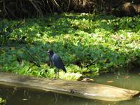 Blaureiher - Costa Rica