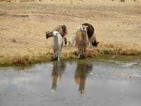 105_Alpacas