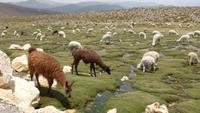 ...mit Lamas