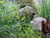 Krutyn - Während der Staker- Fahrt auf der Krutynia, von Bibern zernagter Baum