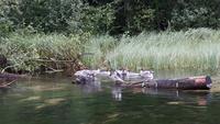 eine Entenfamilie auf der Krutynia