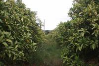Auf der Orangenplantage_6