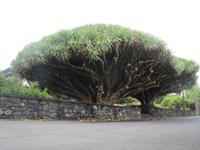 IMG_2441_Drachenbaum auf Pico