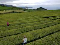 Teeplantage Gorreana in Sao Miguel Insel