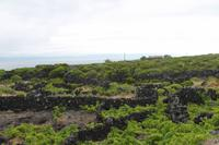 Pico: Weinanbau