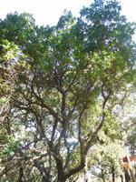 105 Monchique Gebirge Medronho-Baum