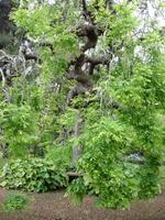 Anwesen der Familie Blandy - Schnurbaum aus Japan