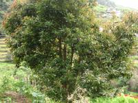 Levada Wanderung in Marocos - Avocadobaum