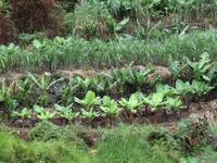 Auf der Levada - Wanderung - Gemüsefeld